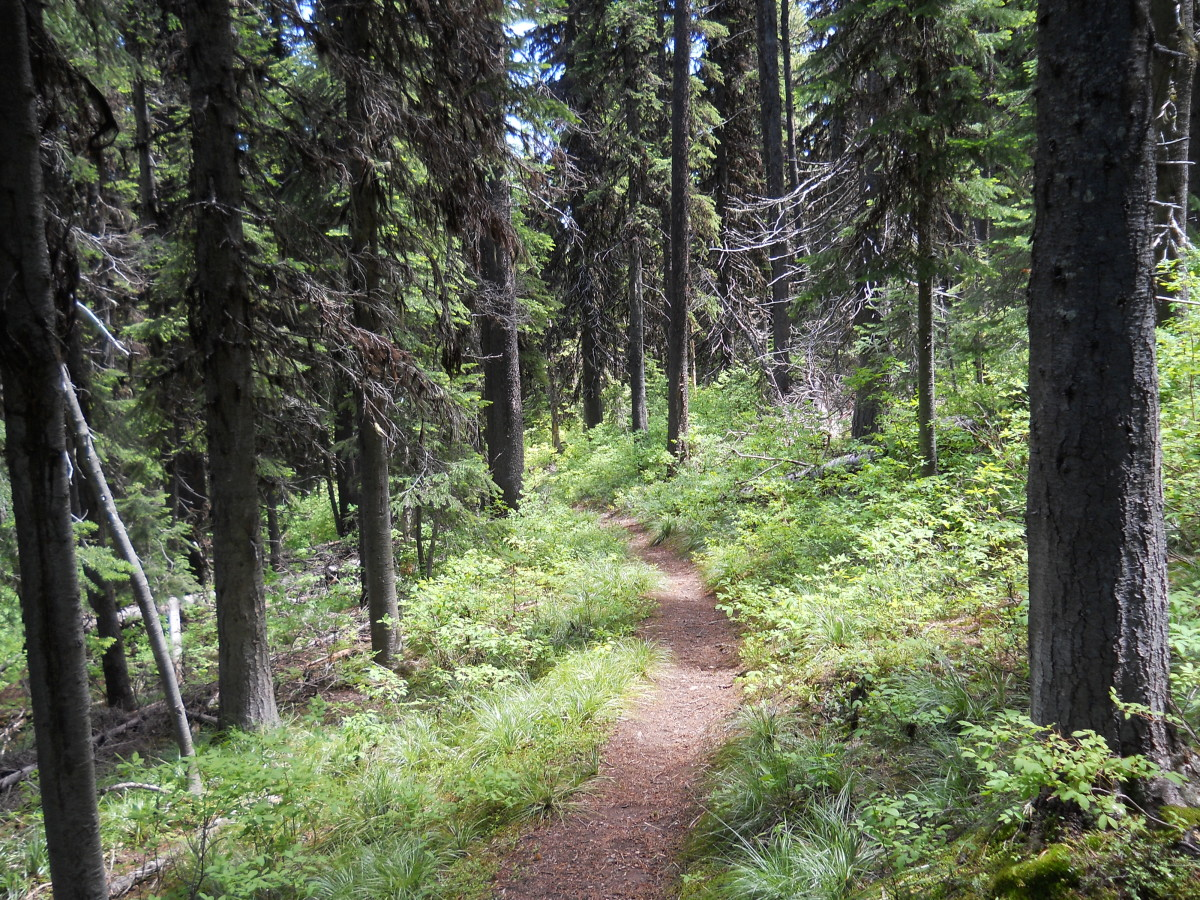 Typical Western Montana Old Growth Forest With Thick Underbrush