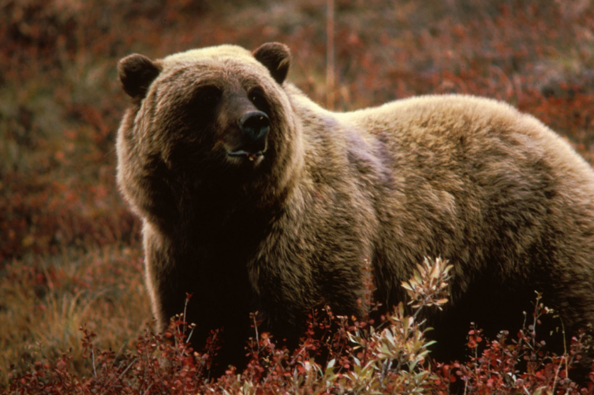 Many Grizzly Bears Have Been Taken Over The Years With 30-06's Loaded With 200 Or 220 Grain Bullets