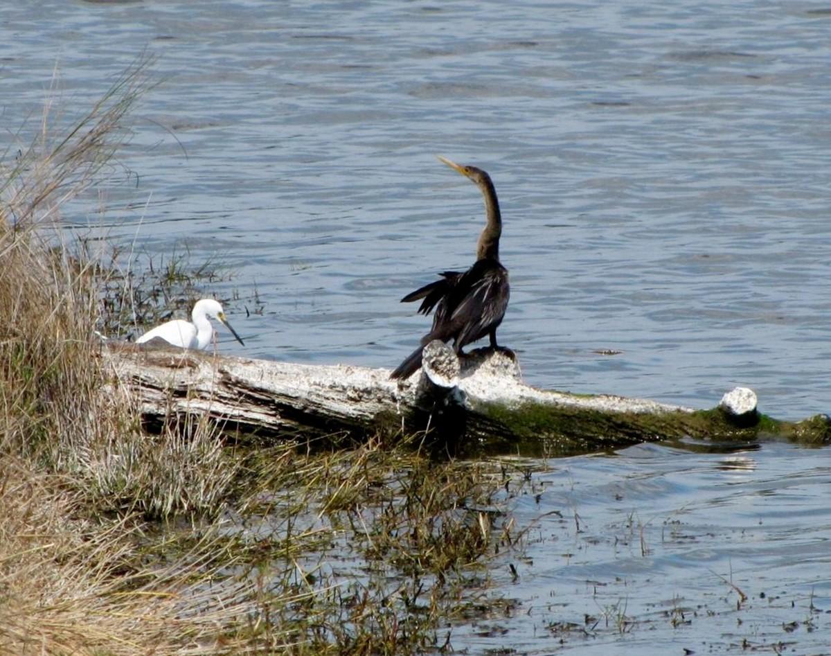 Snowy Egret and Anhinga