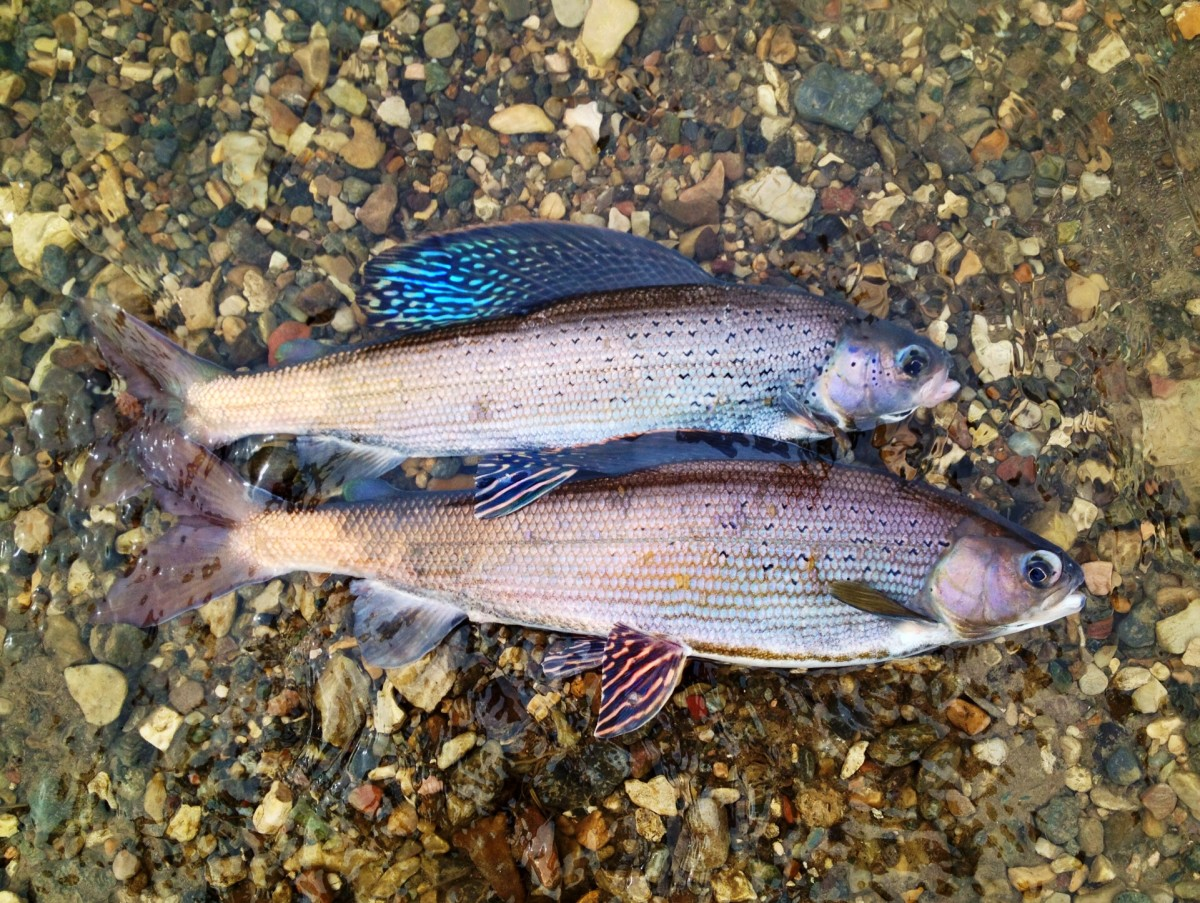 A nice pair of Arctic Grayling caught in Red Rock Creek, Montana.
