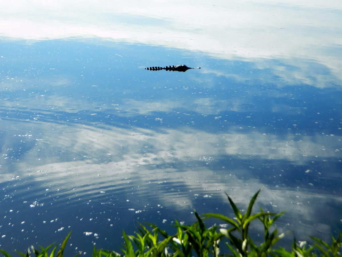 It certainly is...Mr. Gator gliding across the waters in the Prairie.