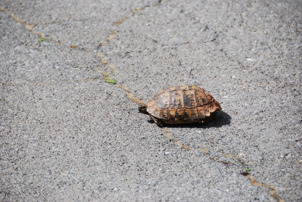 Tortoise on the road...we saw it on the road when we mistakenly went towards Zygovisti instead of Vytina...