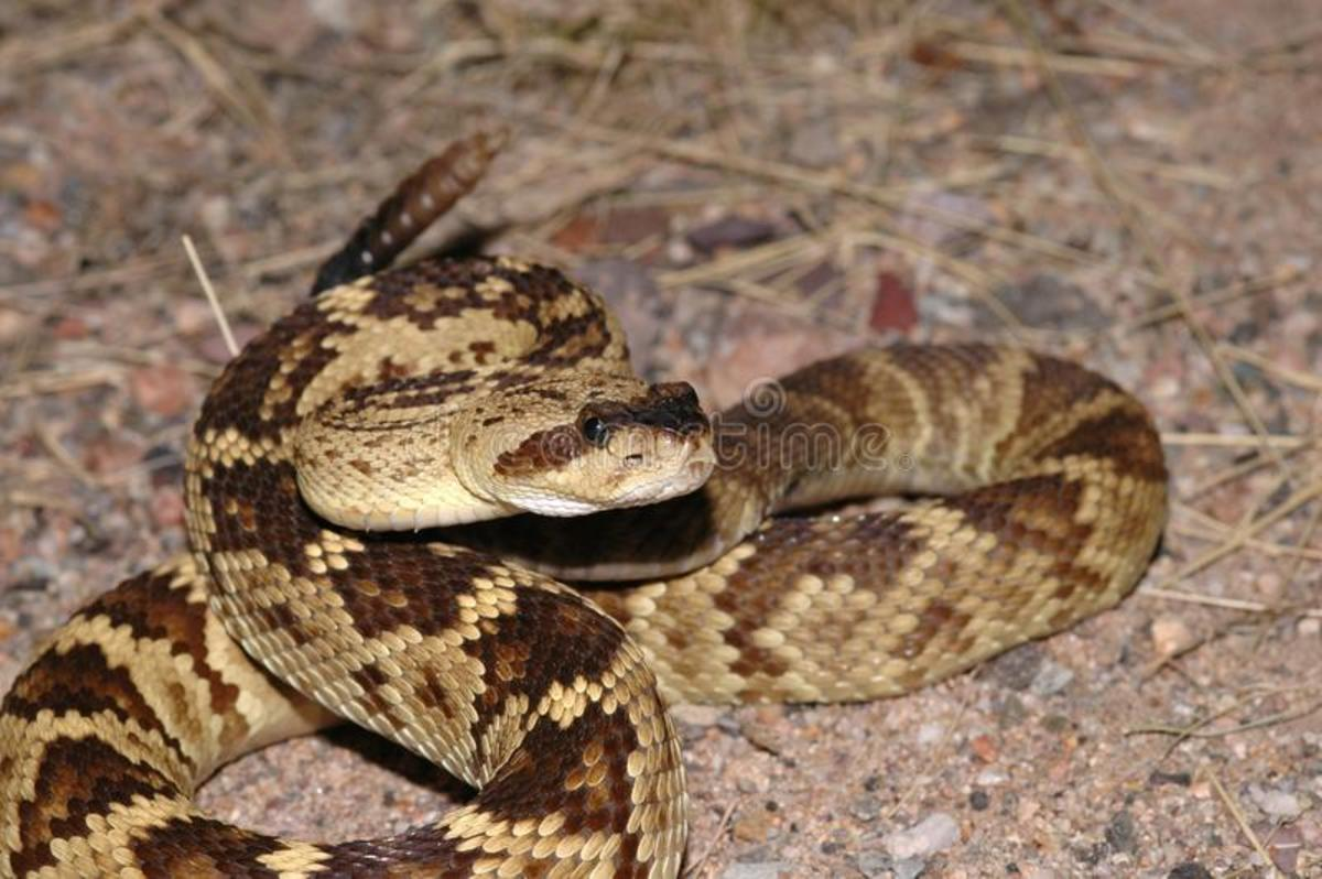 what-to-do-if-you-encounter-a-rattlesnake