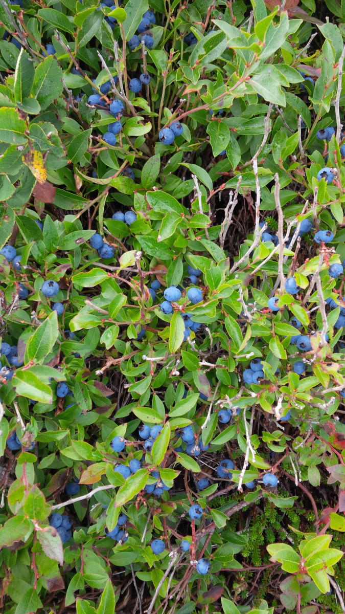 Blueberries growing wild along side the trail.