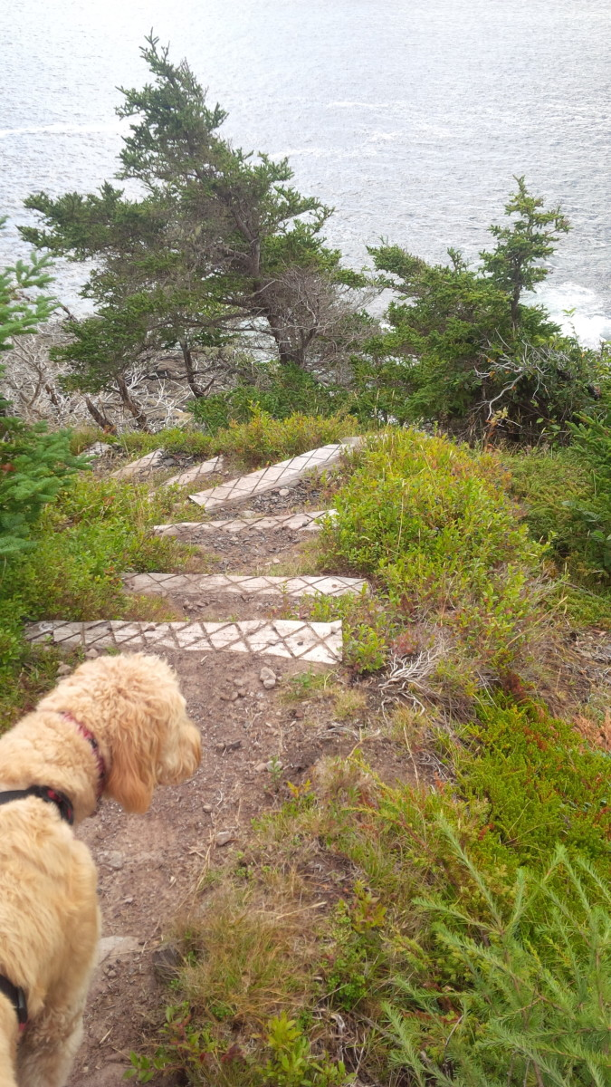 The author's dog, Daisy, looking down over a set of wooden steps built into the trail.