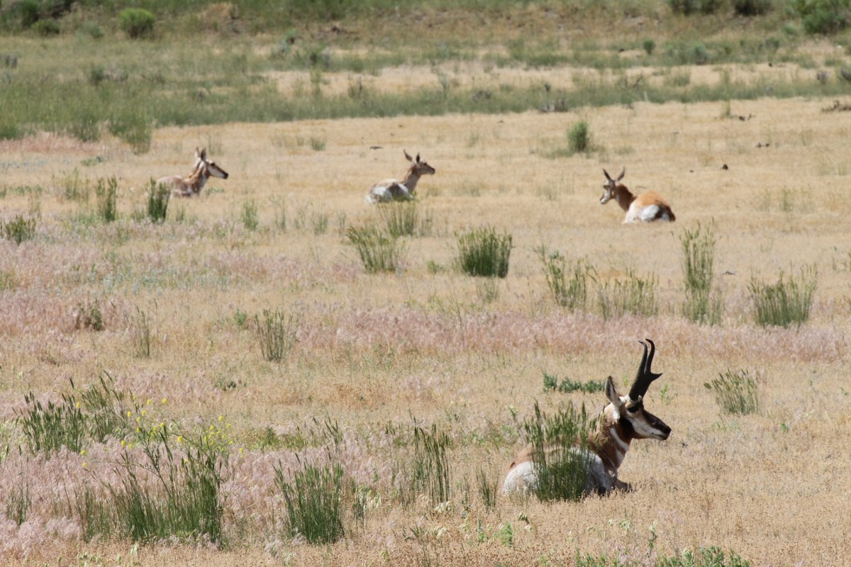 Pronghorn inhabit open country where their eight-power vision protects them from predators.