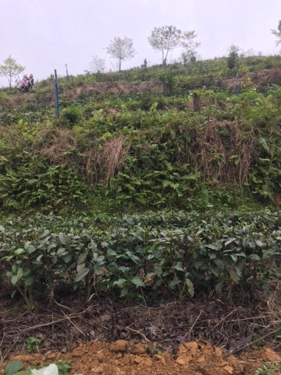 Black Tea Farm  Yingde