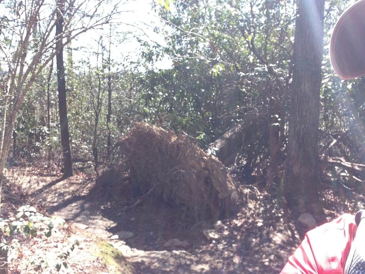 Uprooted Tree at 1.77 Miles In