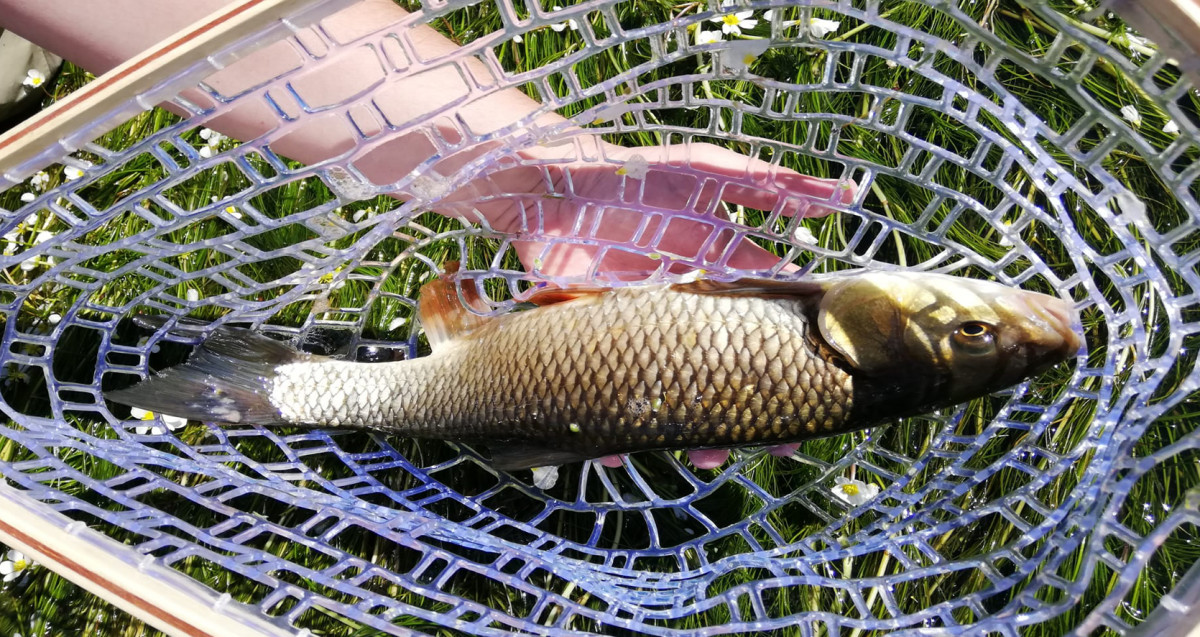Caught the chub in the Ardennes.