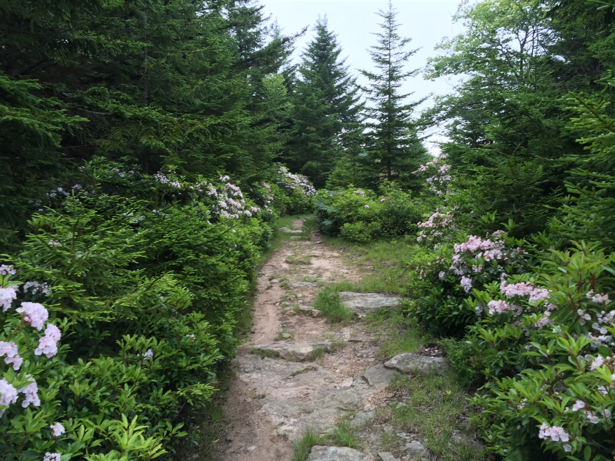 Azaleas and Rhododendrons abound