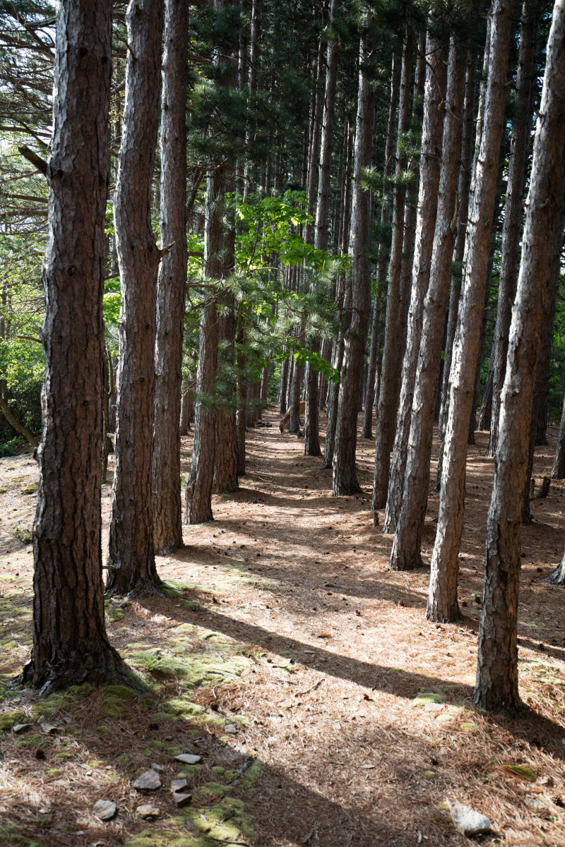 The pine tree-lined path towards Lion's Head