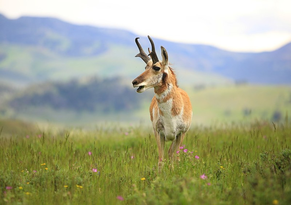 Power Point's rapid expansion design makes it a good choice for light-bodied game such as pronghorn.