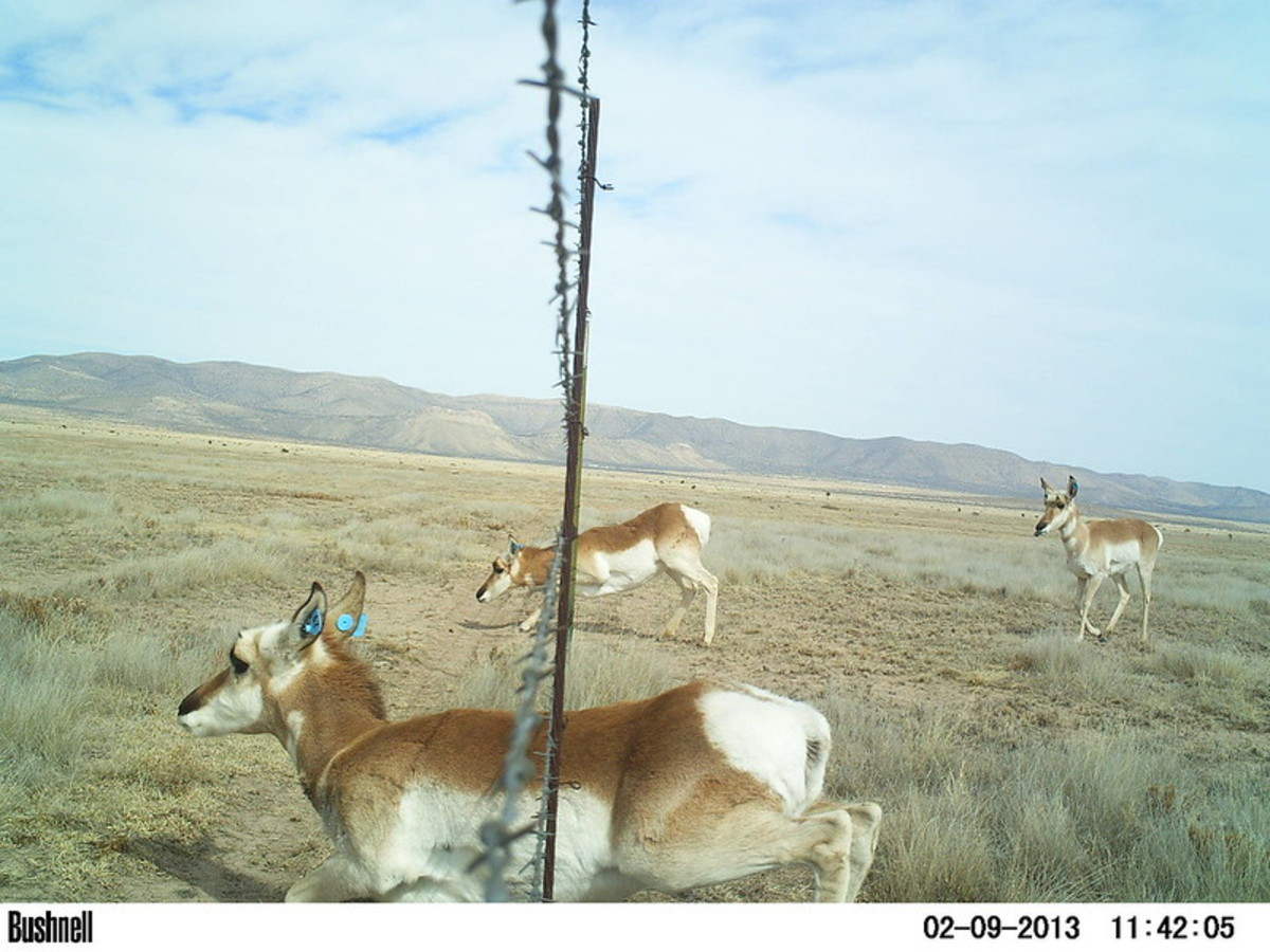 Pronghorn go under, not over, fences. Find a fence crossing and you'll find pronghorn.