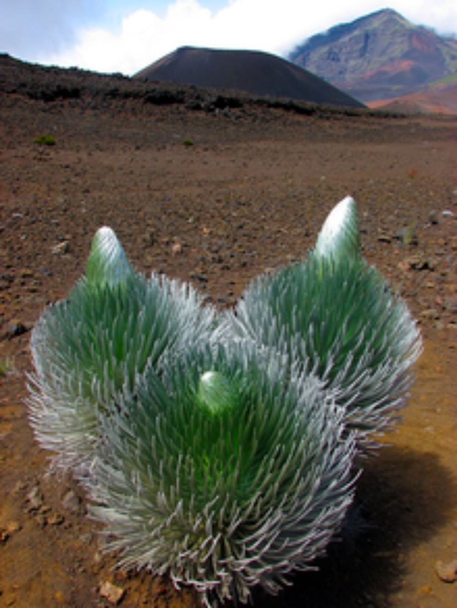 This elegant plant, the silversword, resembling the yucca plant of the American Southwest, has evolved on the slopes of the volcano Haleakala on the island of Maui, HI.