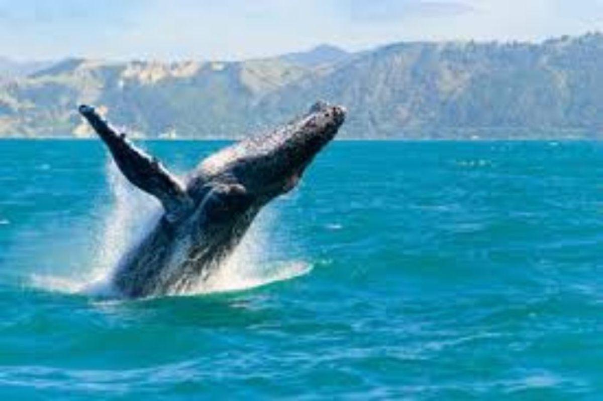 A humpback whale breeching off the coast of Maui, HI.