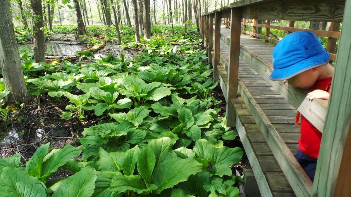 Hiking at a local wildlife refuge, my son observes sunk cabbage off the boardwalk.