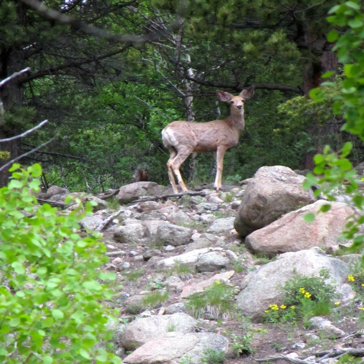 A deer near Bierstadt Lake