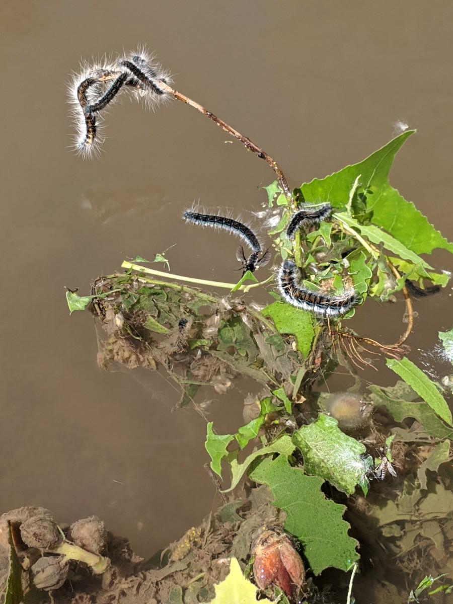 Caterpillars along the shore of the San Pedro River