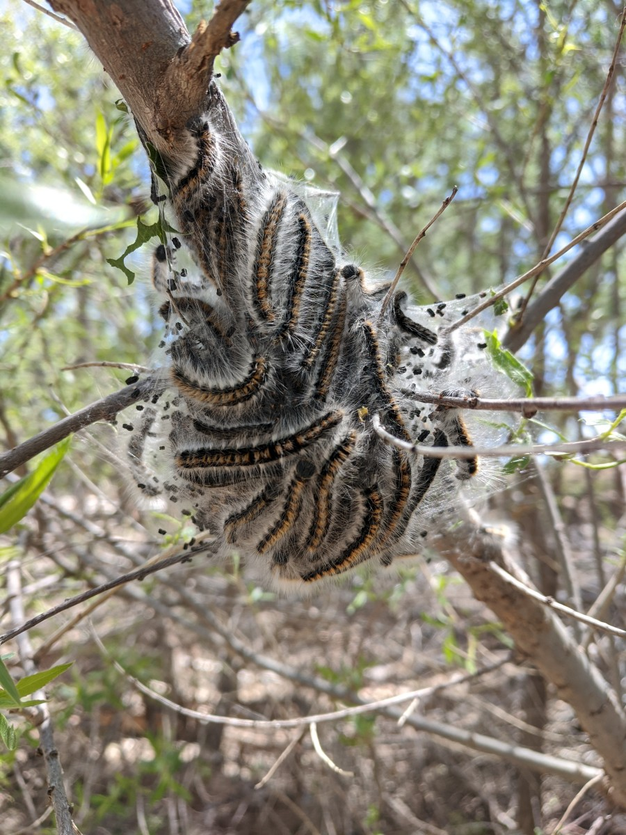 View of a smaller nest in tree housing a large group of tree caterpillars