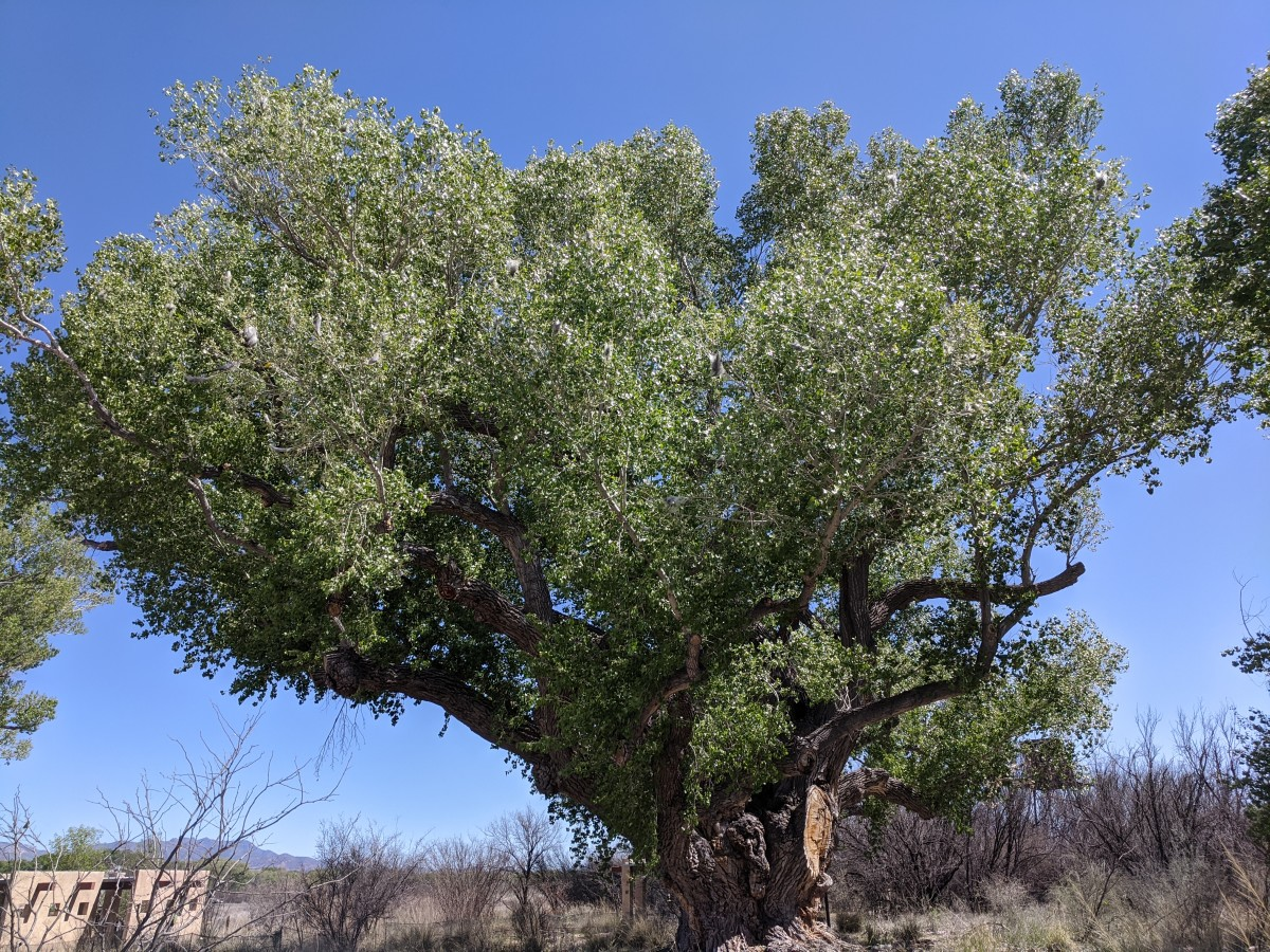 130 year old Cottonwood Tree a few yards west of the San Pedro House