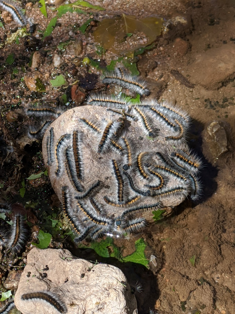 Tent Caterpillars on a rock in the San Pedro River