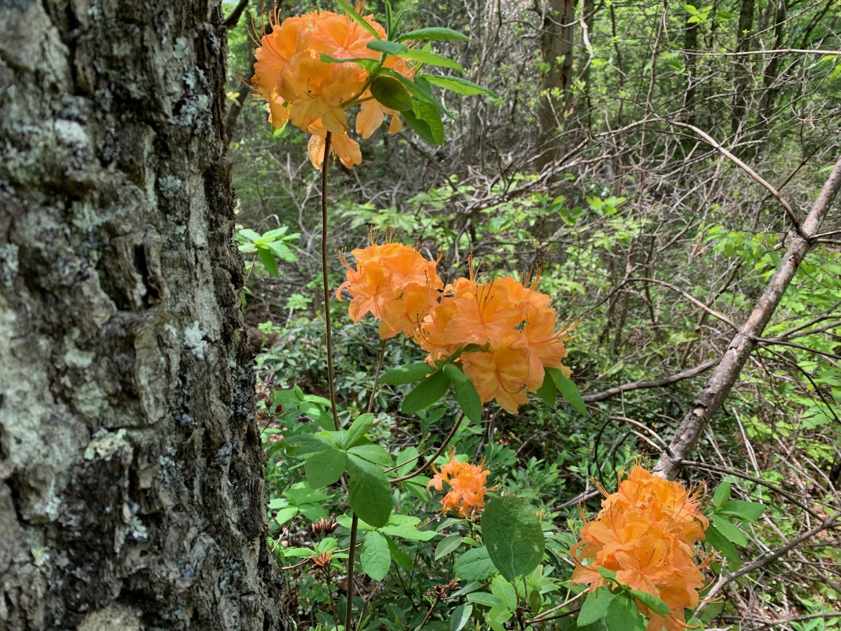 I think these are Mountain Azaleas