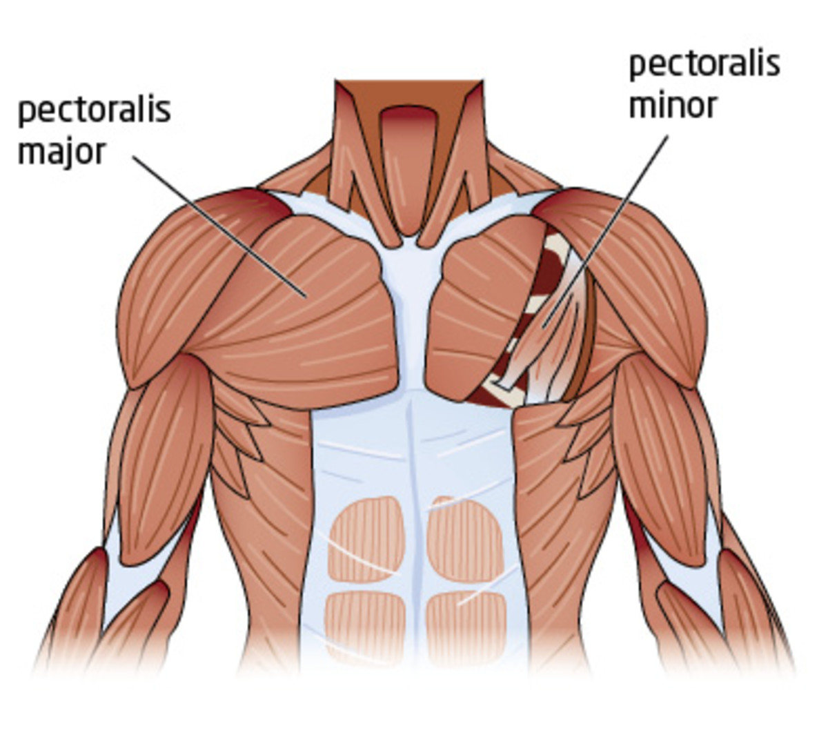 Chest muscles (pecs).