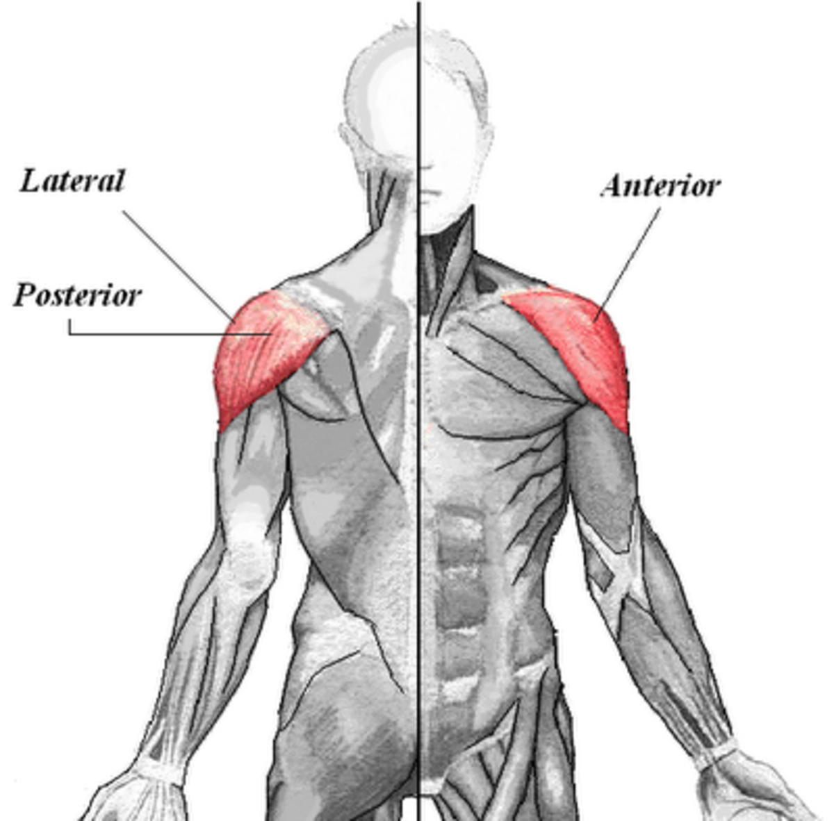Shoulder Muscles (Deltoids)