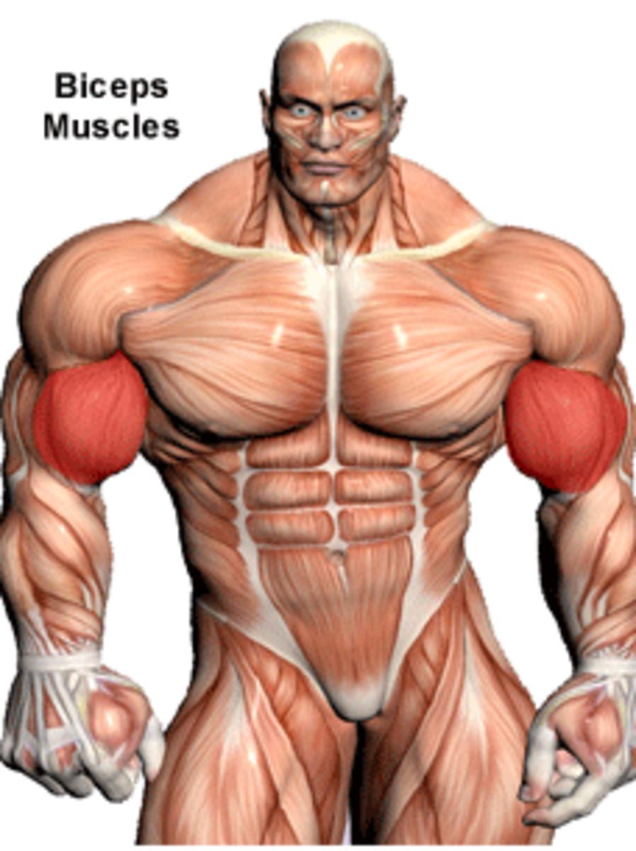 Biceps.