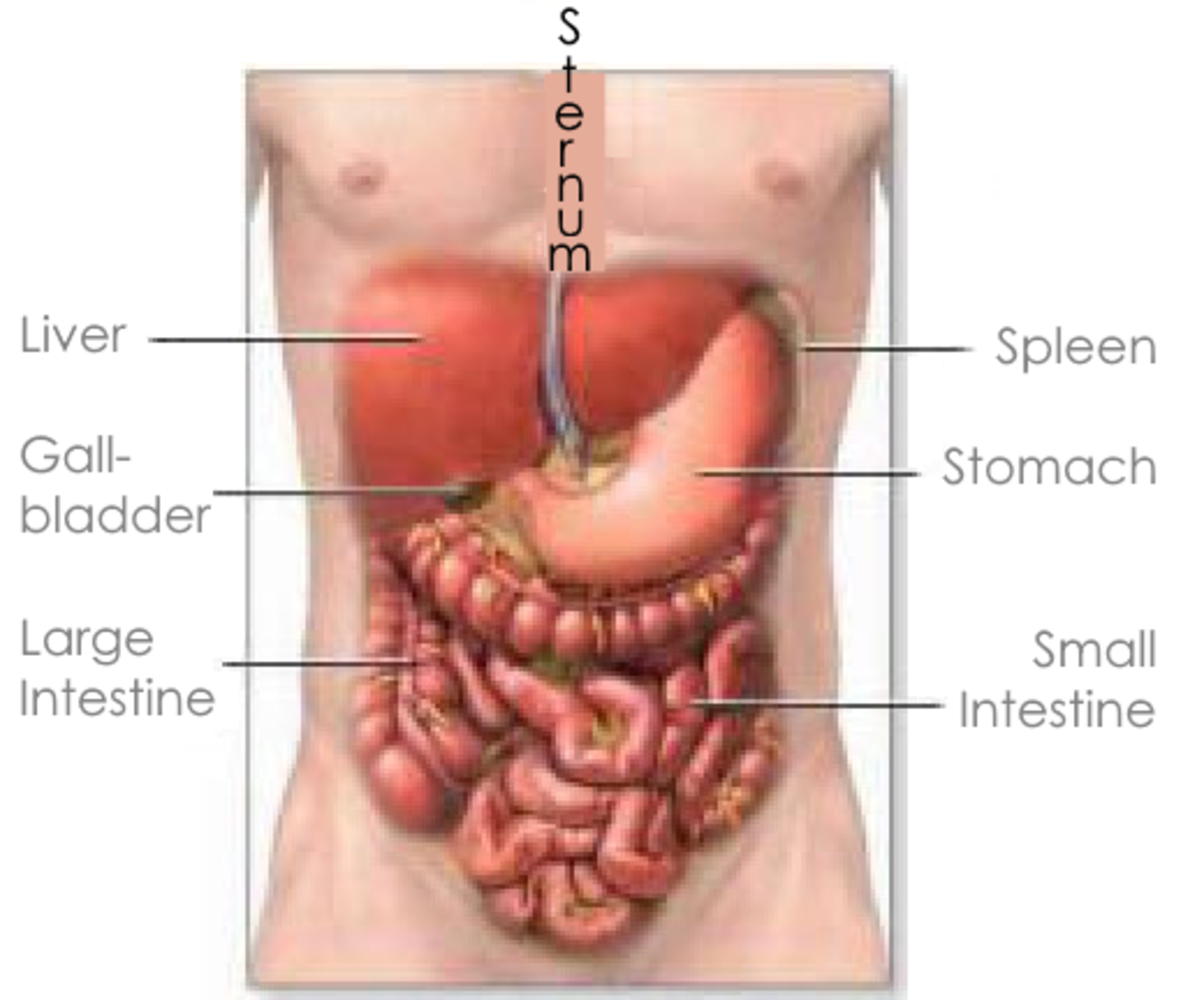 Inside the trunk we carry most of our vital organs