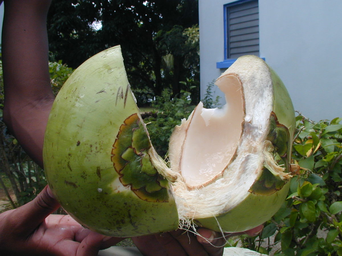 This young coconut has lots of nutrients.
