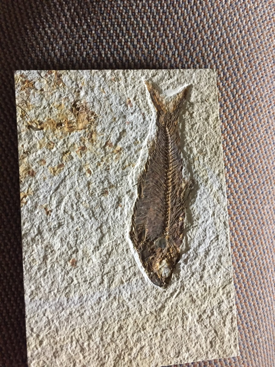 "And here's the prize: a Knightia fossil in good condition, found while ""fishing"" through the prehistoric lakebed with a chisel and hammer..."