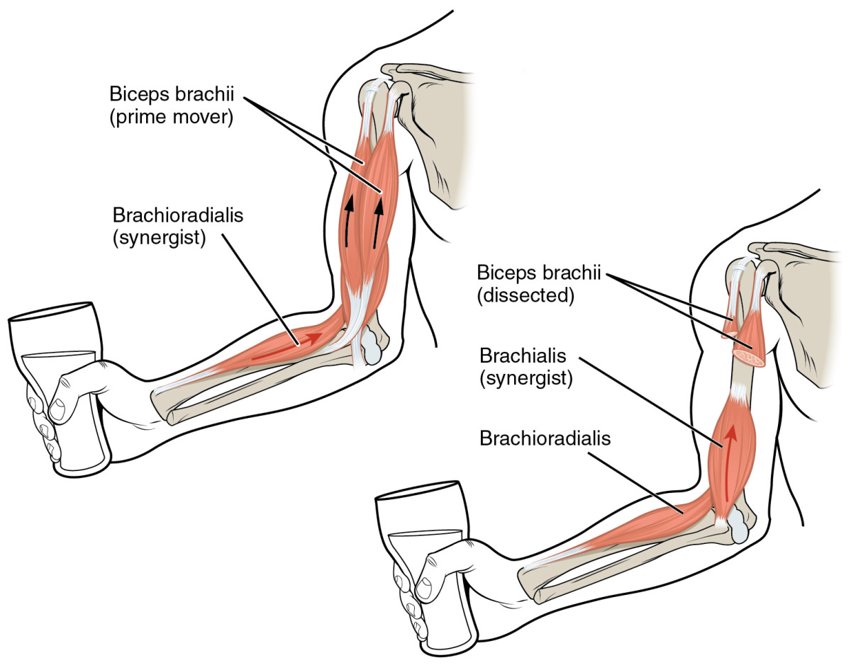 Biceps anatomy is important to know for biceps workouts