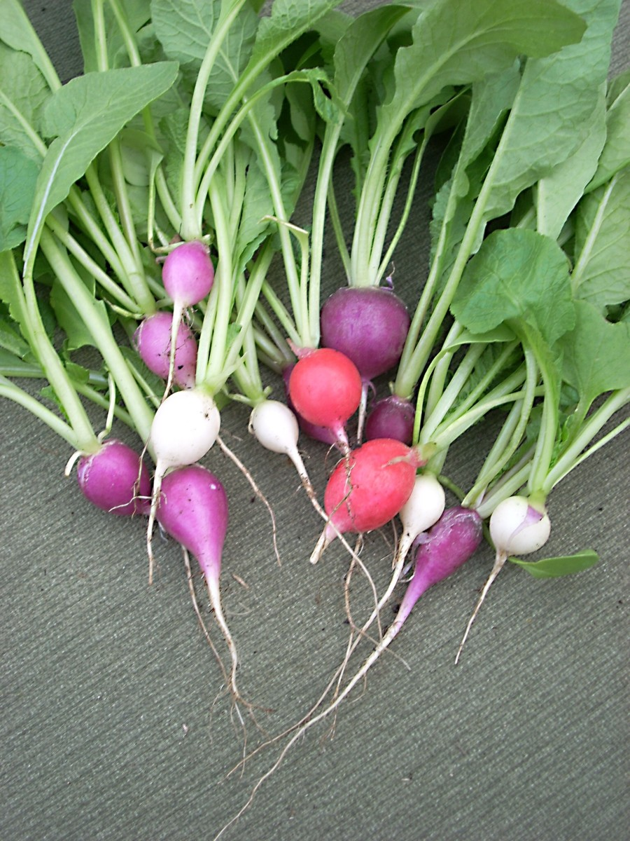 Radish leaves are nutritious greens.