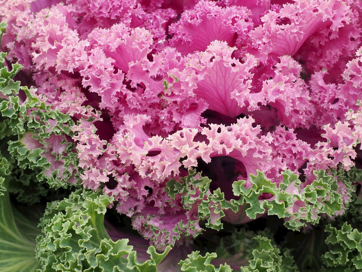 Some ornamental cabbages have leaves with curly edges. They are edible, but they don't taste as good as cabbage varieties grown for food,