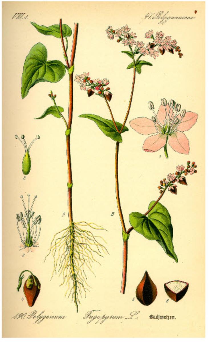 A Botanical Illustration of the Buckwheat Plant
