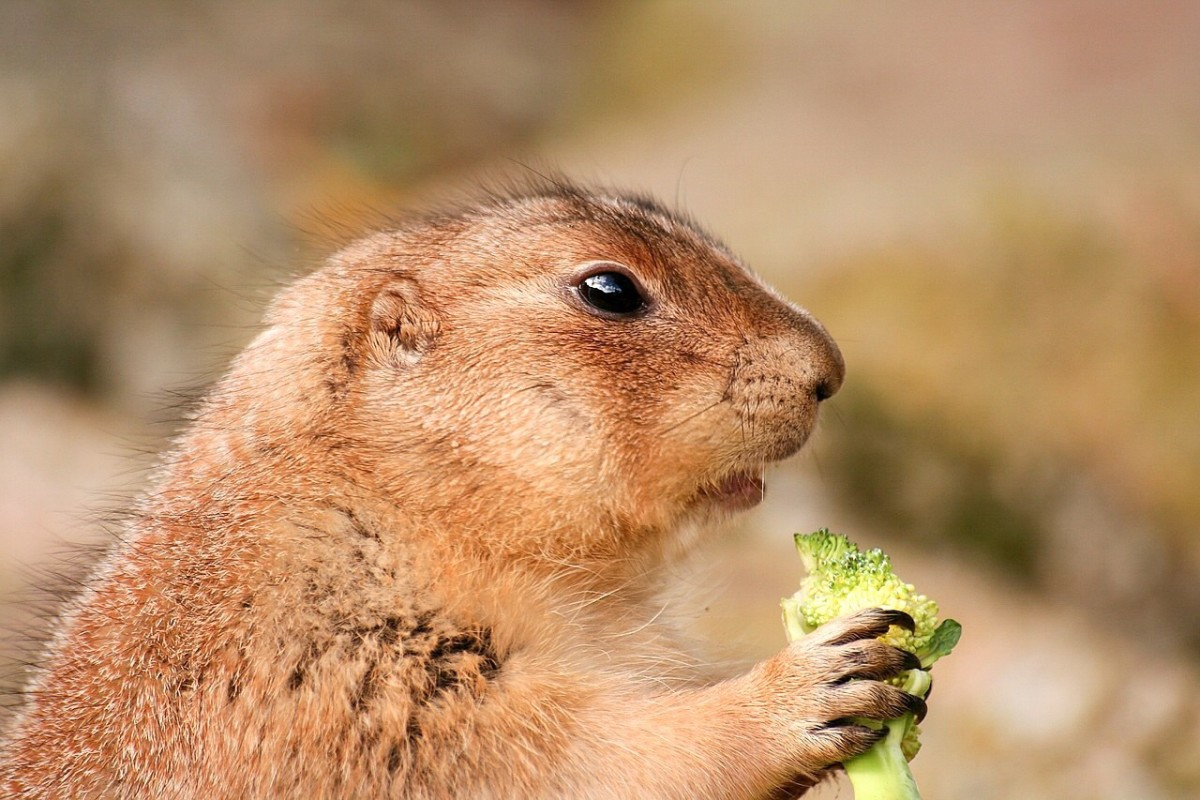 This prairie dog seems to like broccoli. Guinea pigs love the vegetable too, as I know from personal experience.