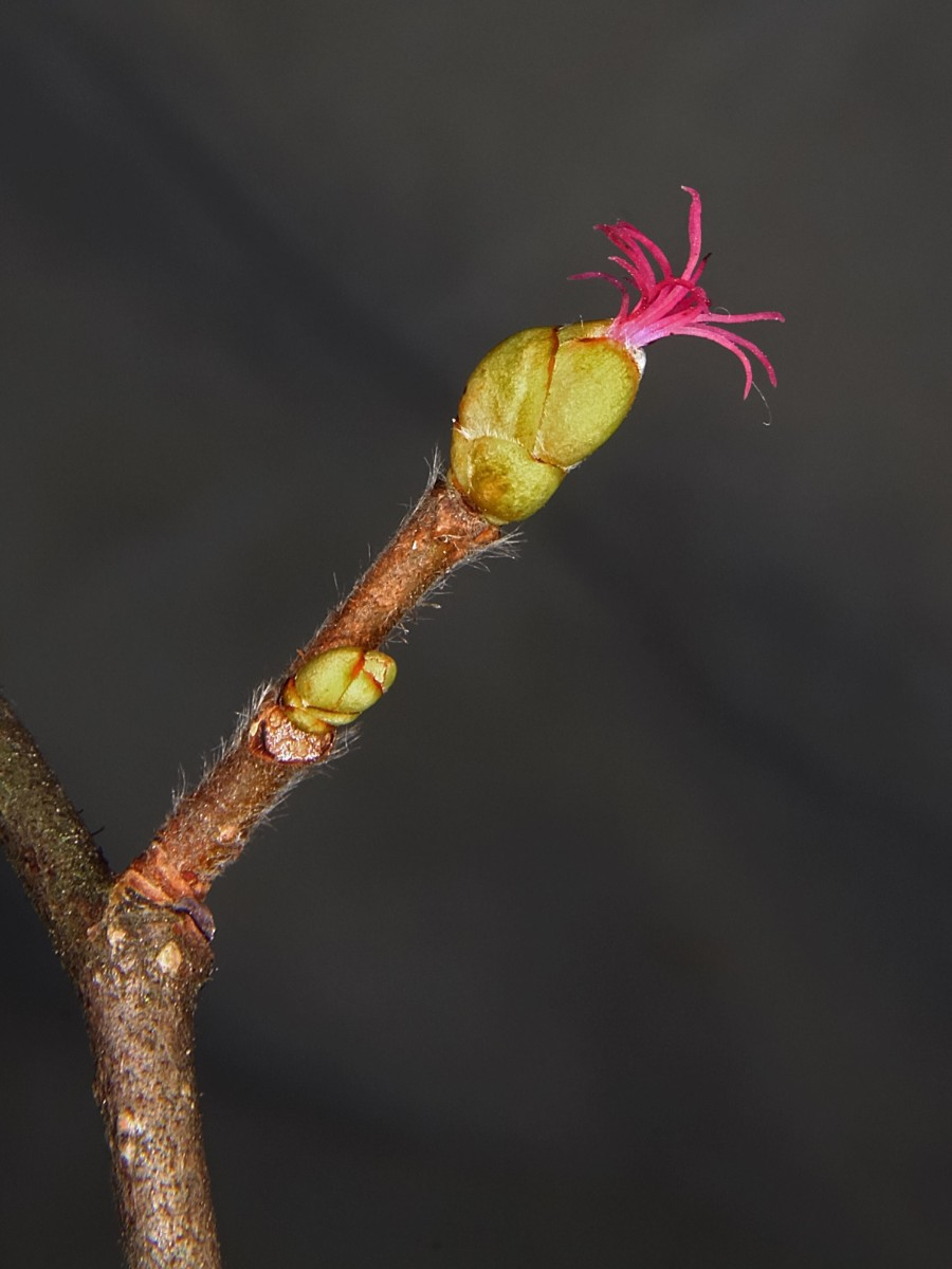 The female flower of a hazel tree