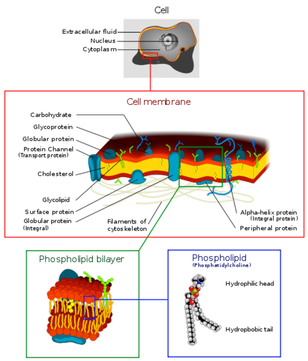 The cell membrane is a semipermeable lipid bilayer common to all living cells. It contains primarily proteins and lipids, which are involved in cellular processes.