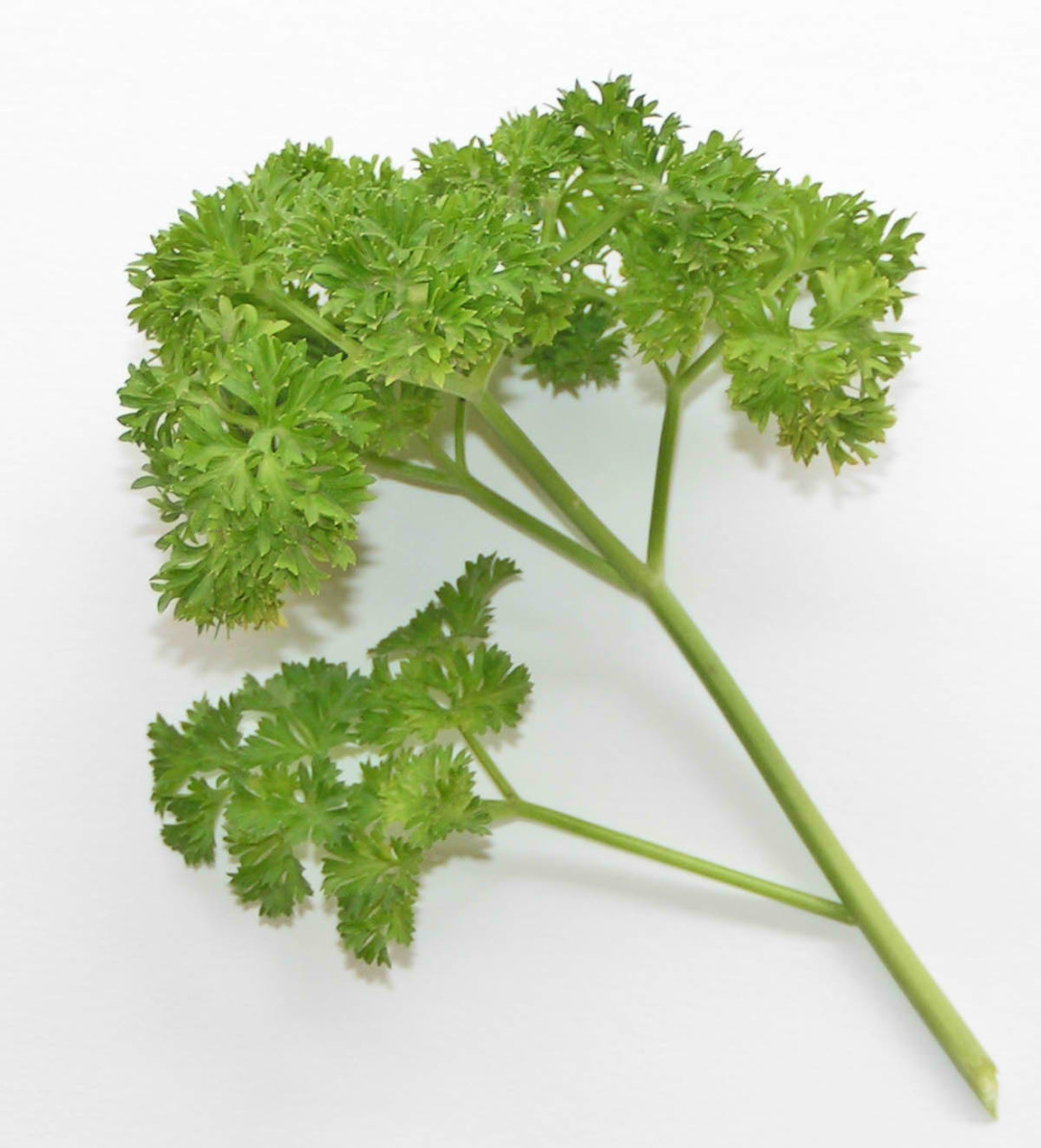 Curly-Leaf Parsley