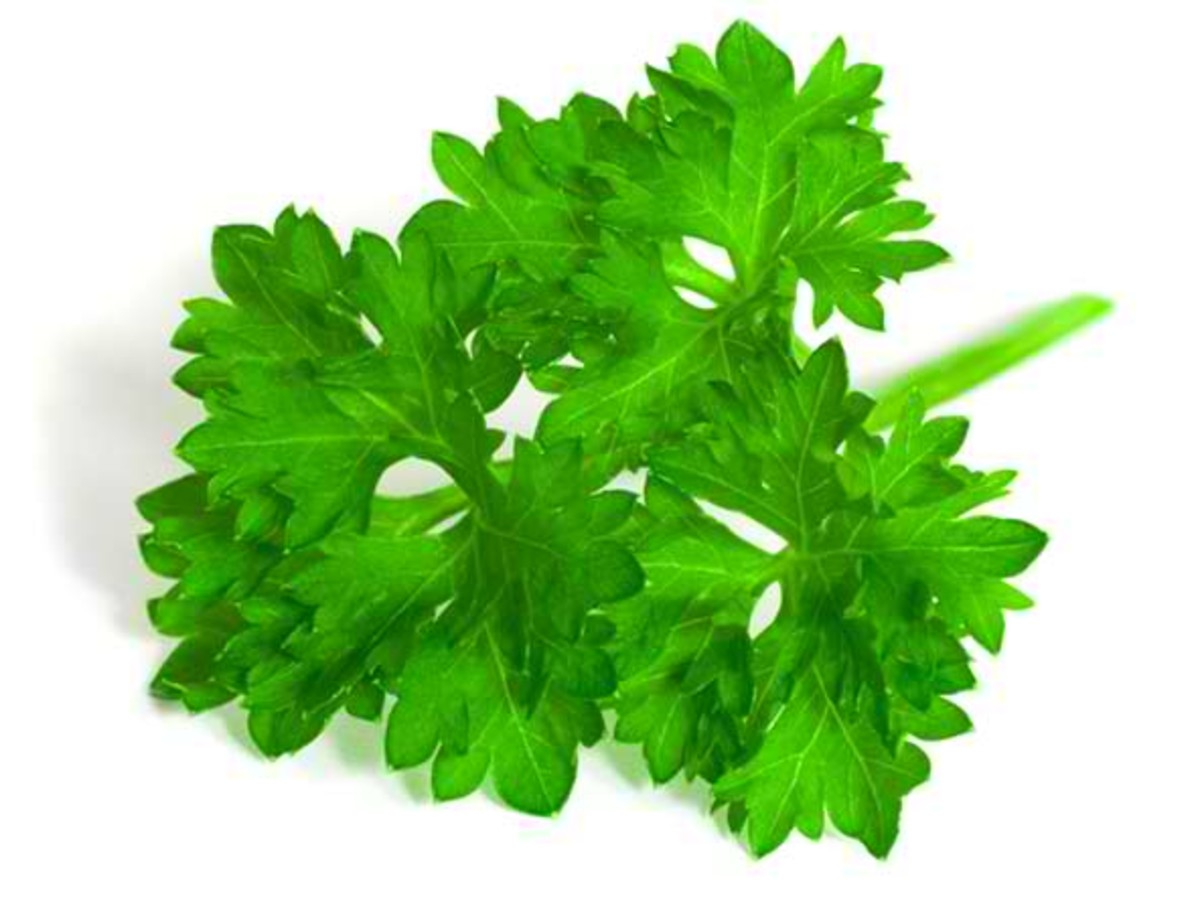 Never live without parsley, an amazing medicinal herb
