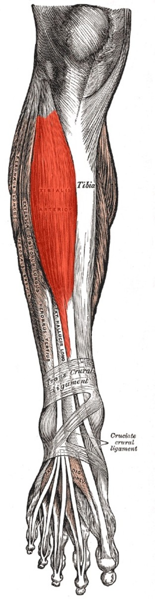 Flexing your tibialis anterior helps to stabilize your knee.