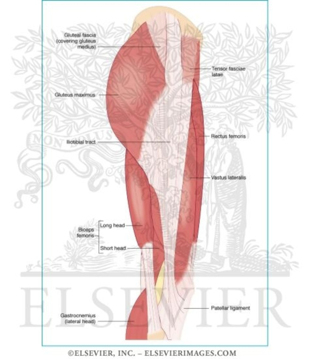 Some of the muscle groups worked during P90X: Legs and Back - including the biceps femoris, better known as the hamstrings.