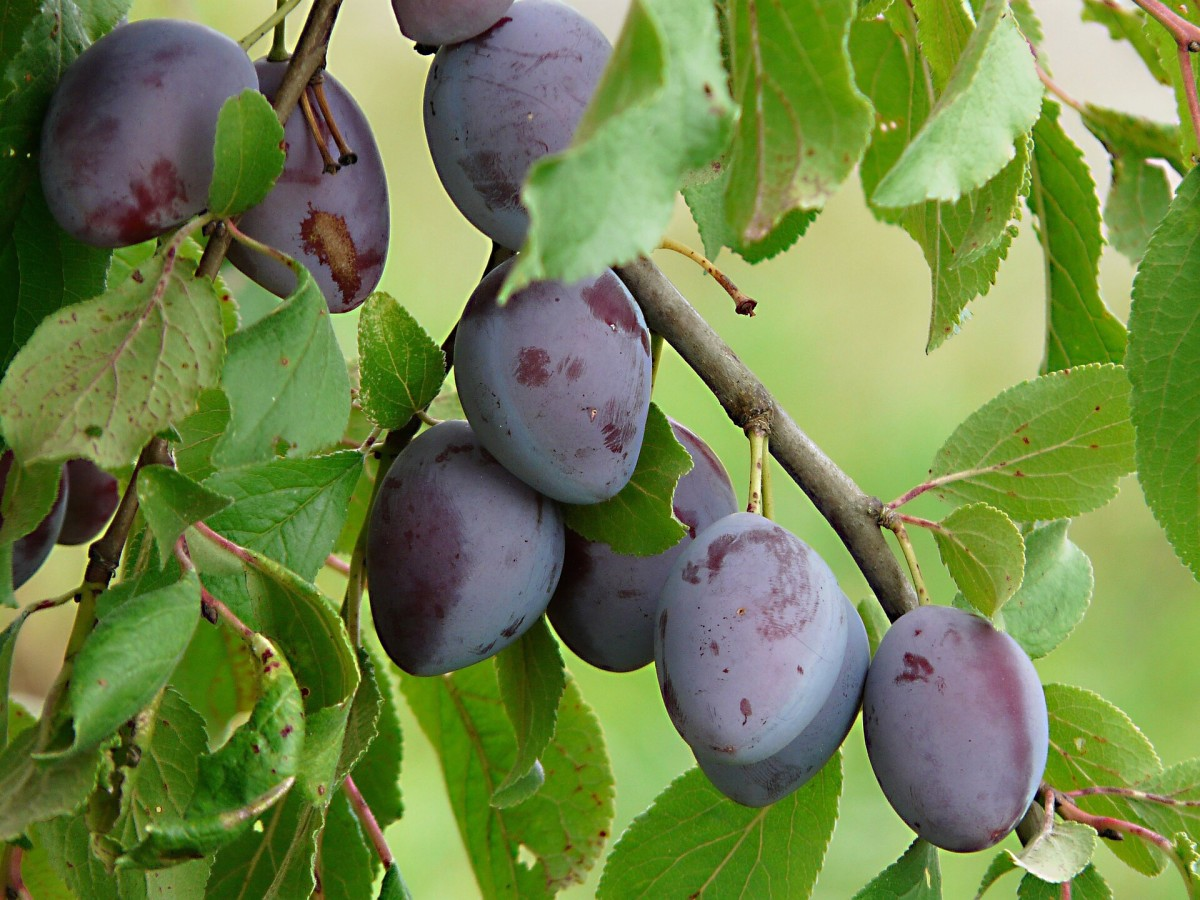 Plums are another natural source of benzoic acid.
