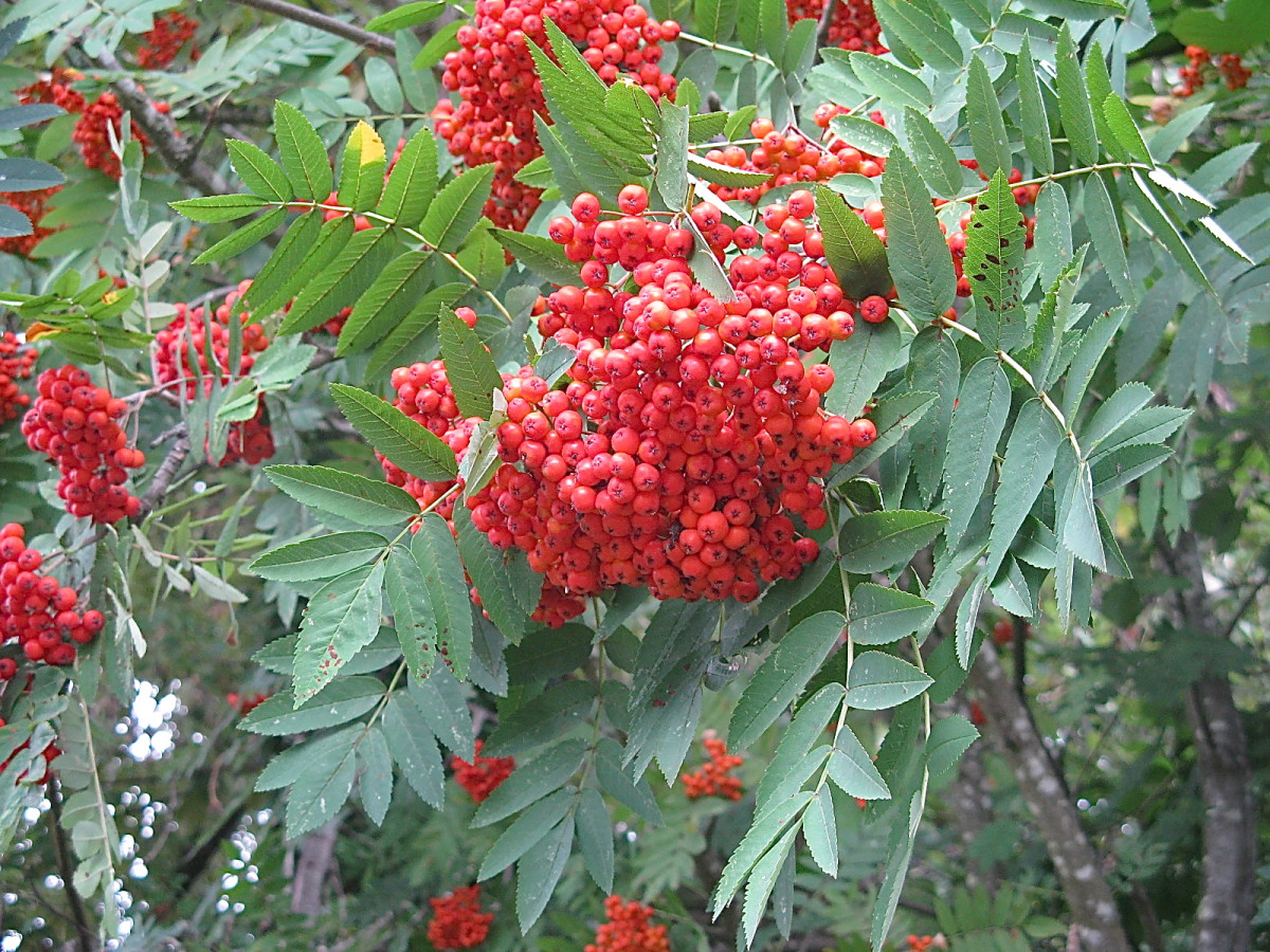 Mountain ash, or rowan, has red berries and isn't attacked by the Emerald Ash Borer.