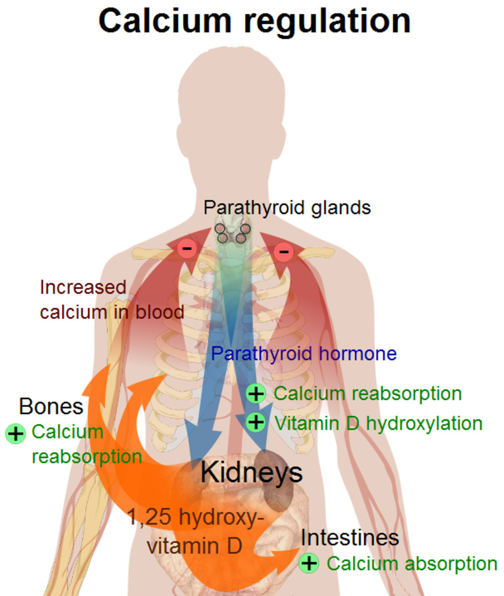 This image shows how calcium is regulated in the body. How vitamin D affects this regulation is shown in orange.