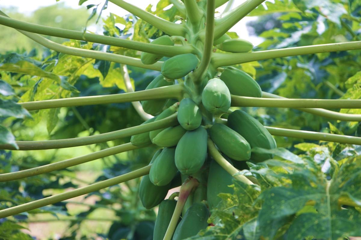 Papaya Growing on Tree