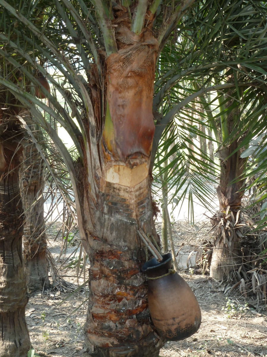Sap being procured from date palm.