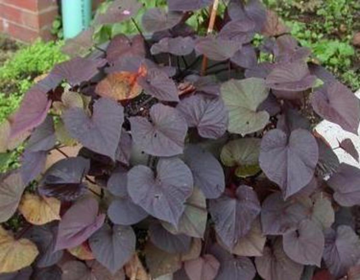 ornamental sweet potato plant