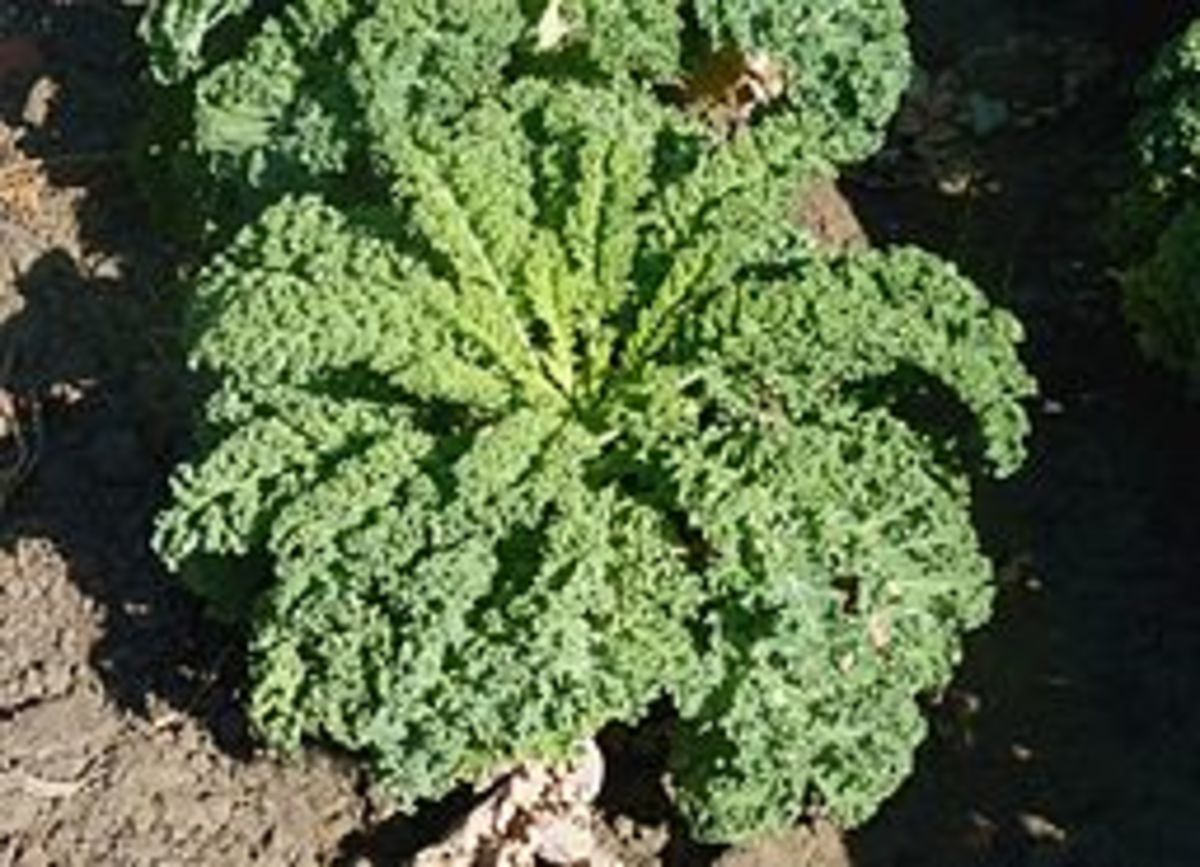 Kale plant ready for harvest.